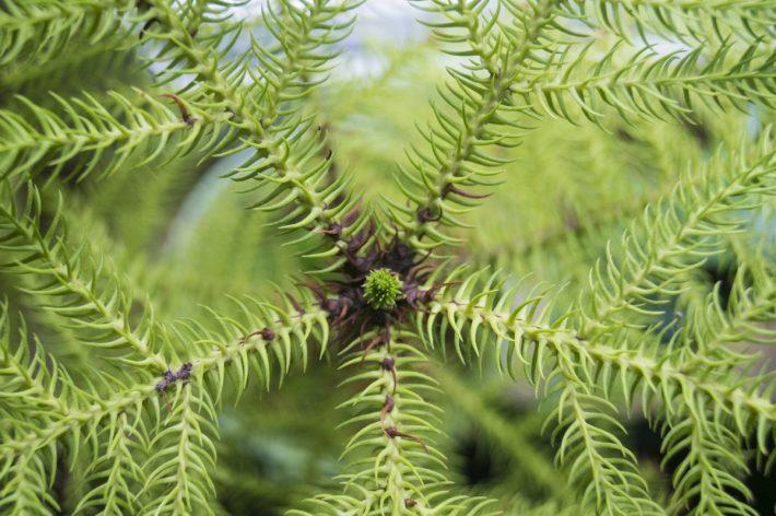 Araukaria drzewko iglaste